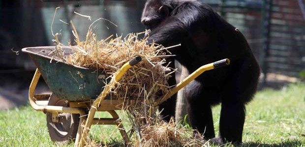 chimpanzé-relva